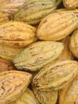 Reife Arriba-Kakaofrüchte in Ecuador