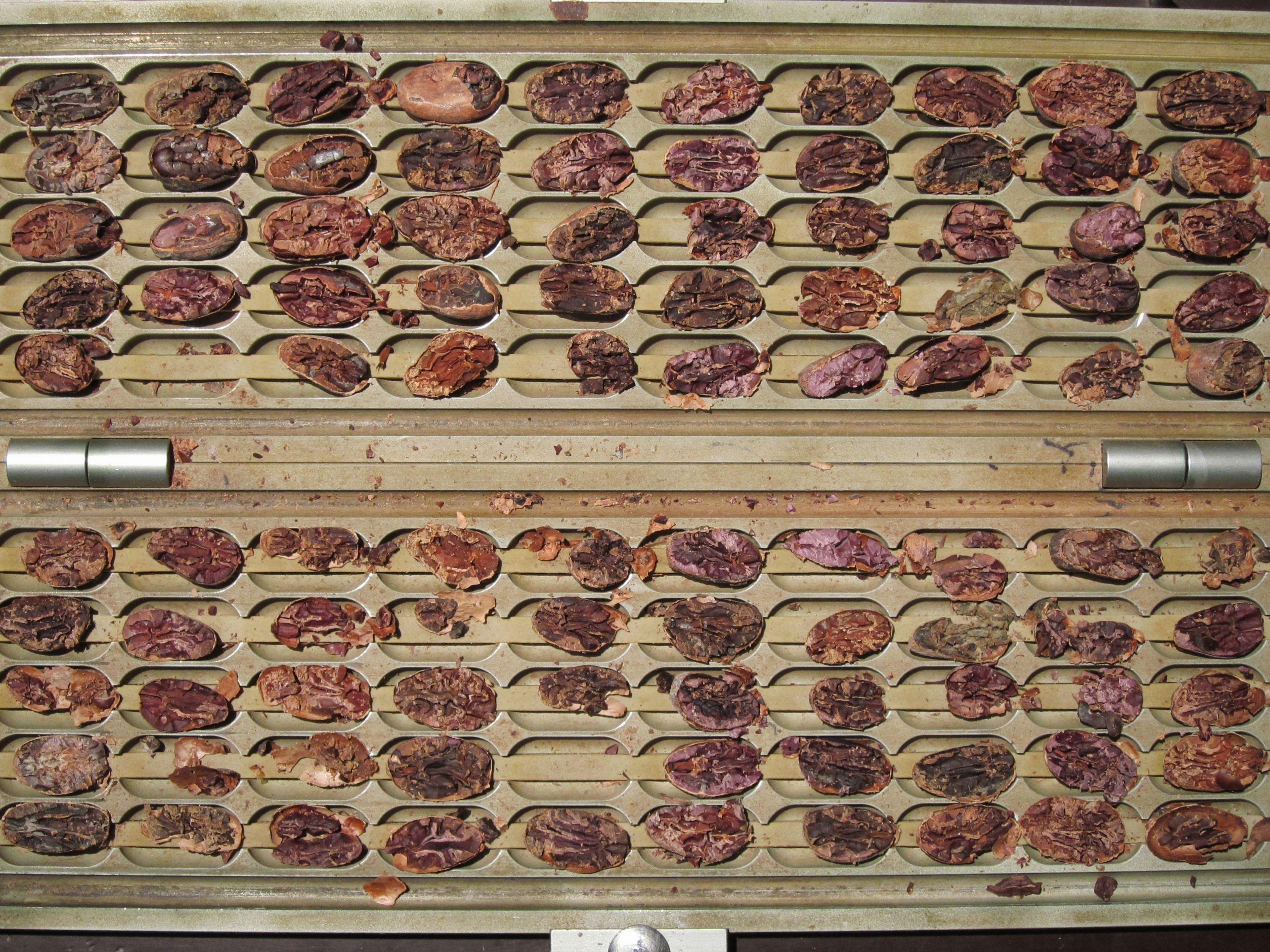 Kakaobohnen auf Prüfbrett
