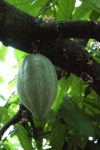 Forastero-Kakaoschote