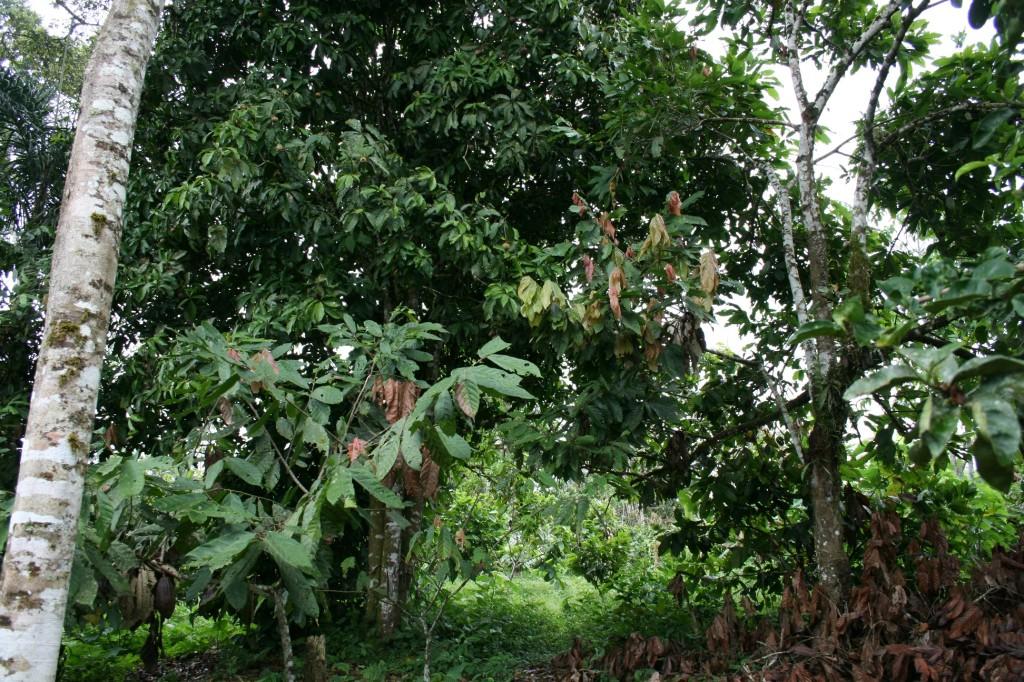 Kakao wächst in Mischkultur