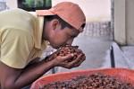 Ecuador-Kakaobauer riecht an Kakao.