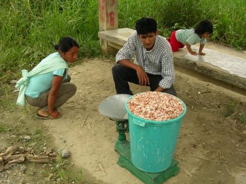 Kakaobohnen werden gewogen