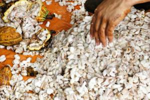 Kakaobohnen mit Pulpe