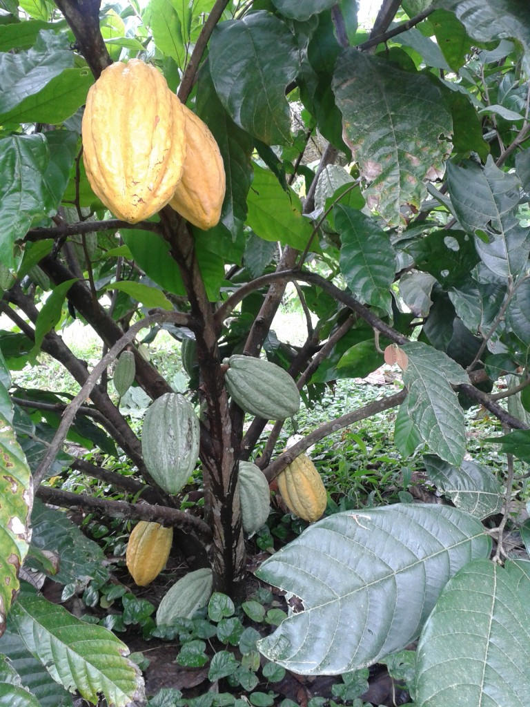 Nacional-Kakaobaum in Ecuador