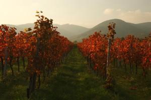 Weinberge im Herbst, Pfalz