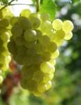 Weisse Weintrauben (Vorschau)